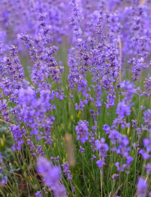 Lavendel i full blom.