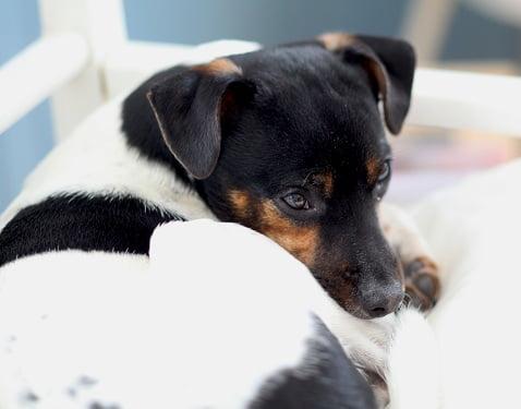 Hunden Melker ligger och vilar på soffan. amerikanska-pankakor-072.JPG