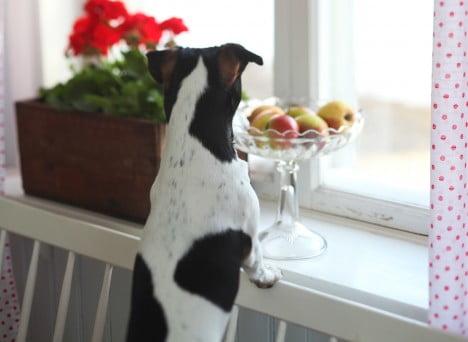 Hunden Melker spanar ut genom fönstret för att kika på gästerna.