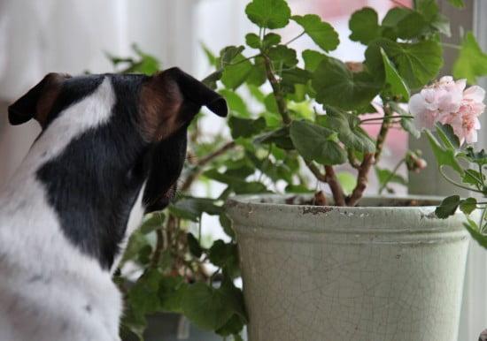 Hunden Melker spanar ut genom pelargoniorna i fönstret.