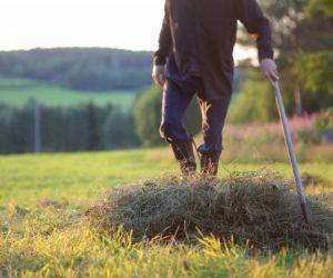 Jakobs ben med stövlar som trampar ihop en famn av hö på marken i sommkvällssol.