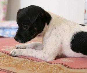 Hunden Melker som liten valp, ligger på en filt och ser allmänt supergullig ut.