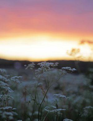 Naturbild från Västerbottniskt somrigt landskap i solnedgång