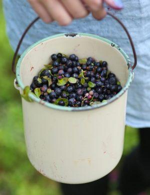 En emaljhink nästan full med blåbär, bärs i handen i skogsmiljö.