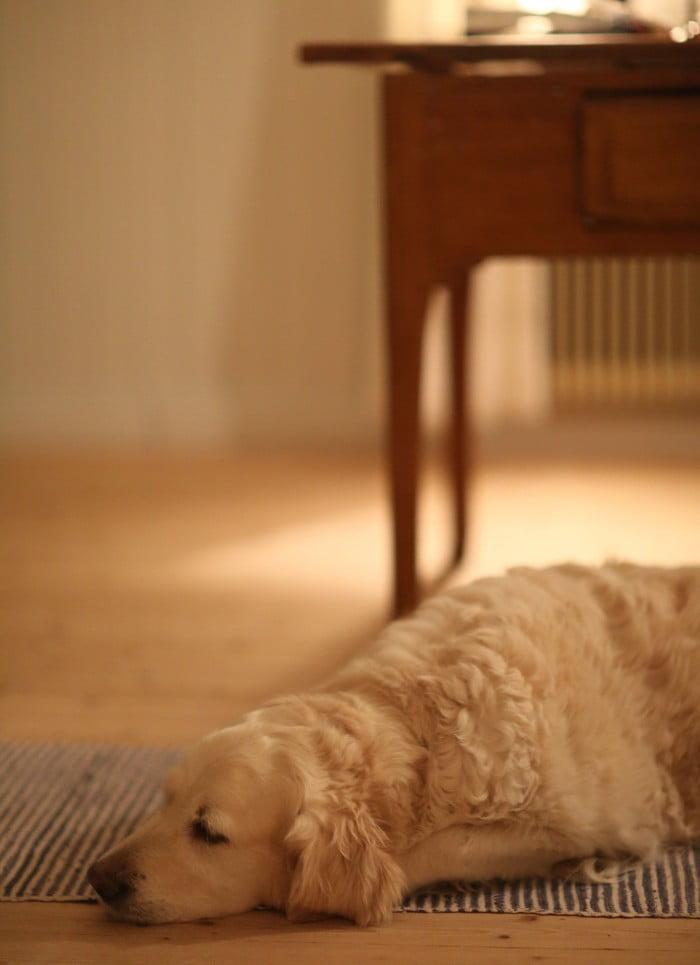Hunden Saga vilar sin vita päls mot trägolvet i köket.