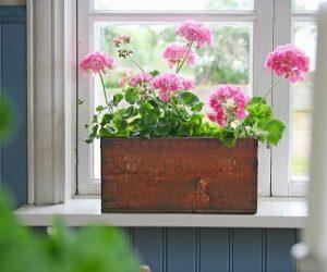 Flera rosa pelargoner planterade i en trälåda i fönster.