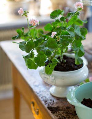 Nyplanterad grön pelargon i vit porslinskruka på fot.