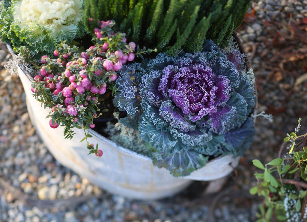 höstplantering blommor ljung kål karva pumpa
