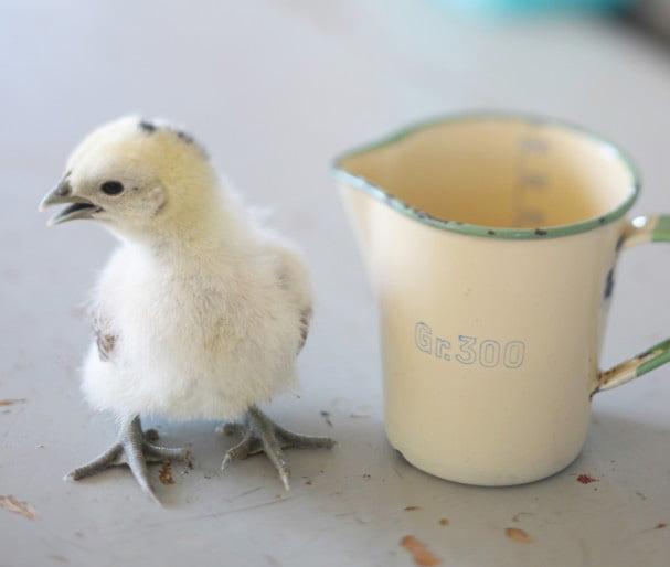 kyckling intill kopp i emalj som gör att man ser hur liten en kyckling är.