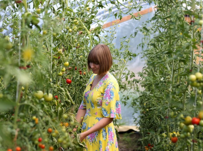 Clara i gul blommig klänning i växthus fullt av tomatplantor och tomater.