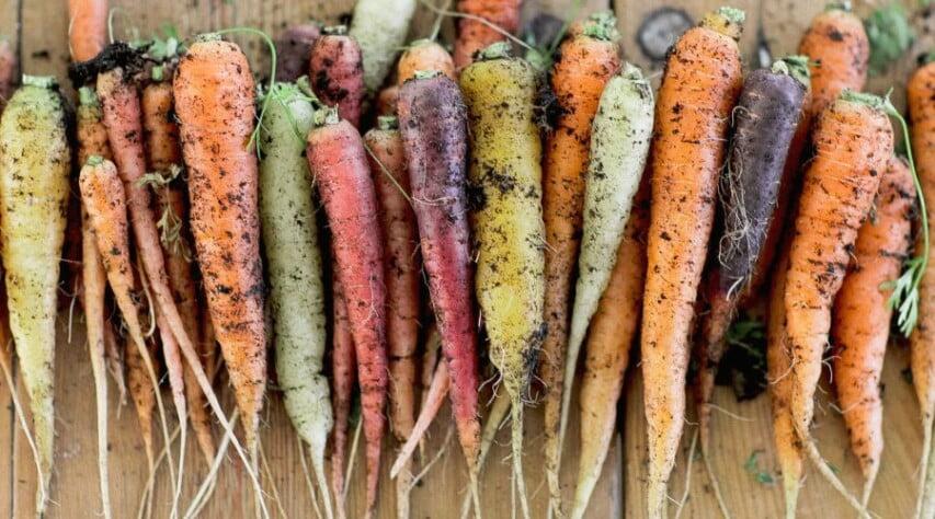 nyligen uppdragna morötter i skiftande färger ligger i trave på varandra på köksbord.