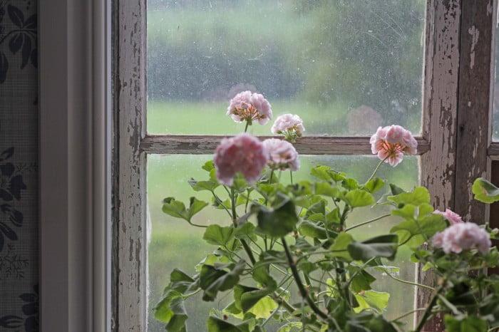 pelargon i regnigt sommarfönster.