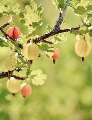 Gröna coh röda krusbär hänger på gren i motljus så saften i bären lyser.