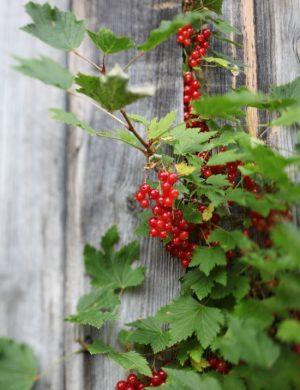 Röda vinbär som växer på kvist mot grånade träplankor.