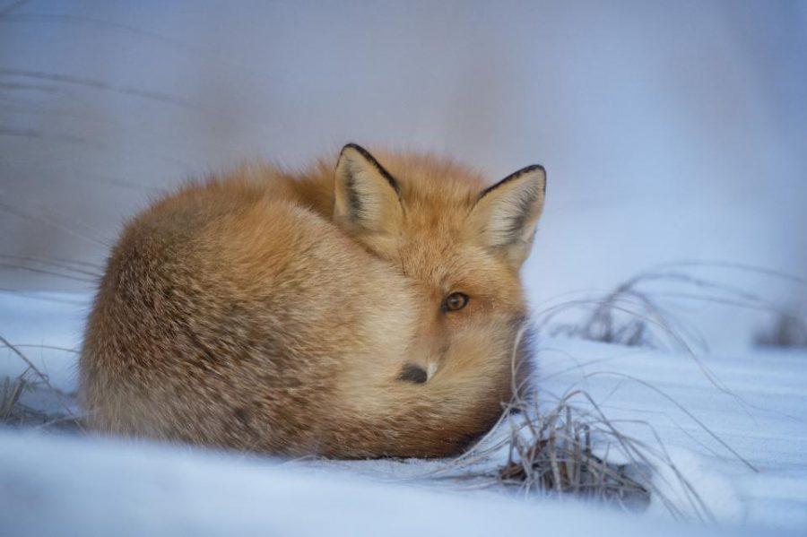 Räv som ligger i snö och kikar fram med ena ögat bakom sin svans.