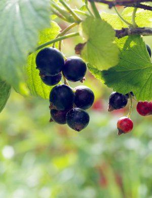 Svarta vinbär på kvist, mogna och redo att plockas.