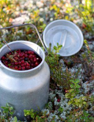 Liten mjölkhämtare i plåt fylld med lingon som står ute i mossa i skogen.