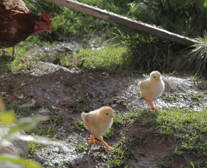 Små gula duniga kycklingar på promenad ute bland gräs och jordig mark i solsken.