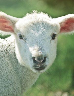 Vitt litet lamm vänder sig om och tittar in i kameran.